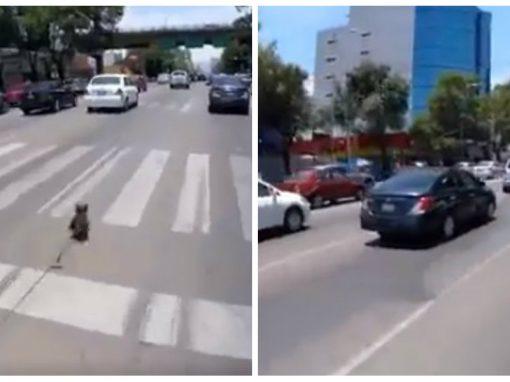 Cãozinho realiza fuga espetacular em pleno trânsito