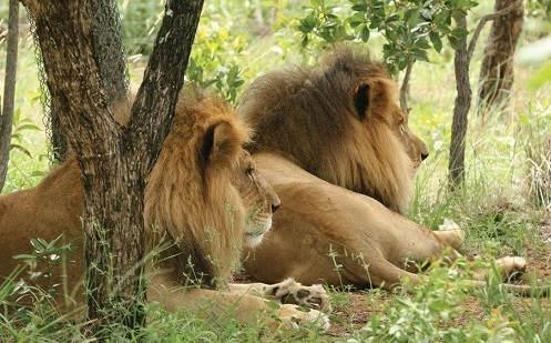 Resgatados de circo, leões são encontrados decapitados