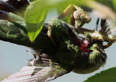 Louva-a-deus comem cérebros de pássaros e preocupam biólogos