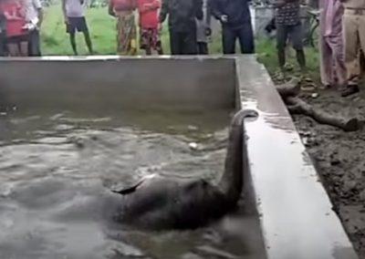 Filhote de elefante cai em tanque e é salvo de afogamento por moradores de vilarejo