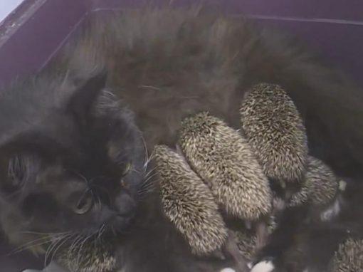 Porcos-espinhos são adotados por gata ao perderem mãe