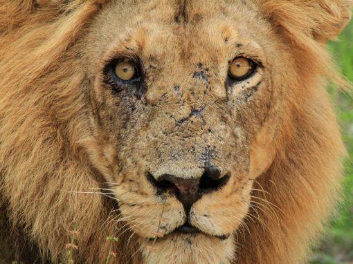 Garota de 10 anos é morta por leão em ida ao banheiro durante a noite