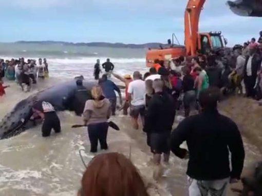 Baleia de 10 metros encalha em praia brasileira