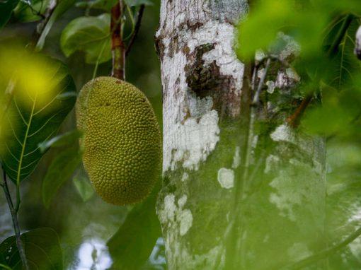 "Jaca: de fruto exótico das Índias a ""carne"" da moda"