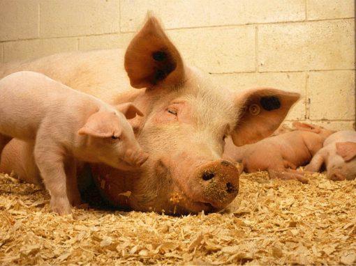 Bombeiros salvam porcos e ganham linguiça feita com animais de recompensa