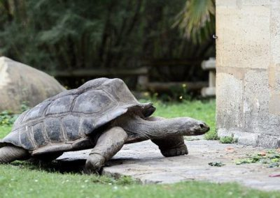 Tartaruga gigante foge pela porta da frente de zoológico