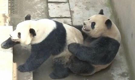 Sichuan Giant Panda Research Centre / Divulgação