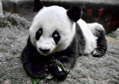 Panda mais velha do mundo morre aos 37 anos