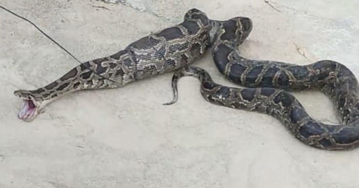 Cobra regurgita galinha e pato após ser capturada