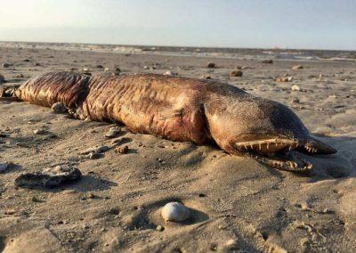 Animal marinho de espécie desconhecida é revelado em praia após furacão Harvey