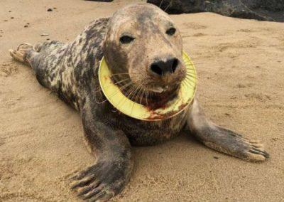 Após 6 meses de tentativas, foca é socorrida por ferimento por plástico