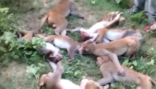 Macacos morrem de infarto após susto causado por tigre