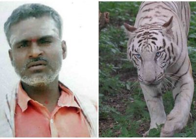 Funcionário de zoológico morre ao ser atacado por filhotes de tigres brancos