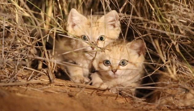 FIlhotes de gatos-do-deserto são filmados pela primeira vez