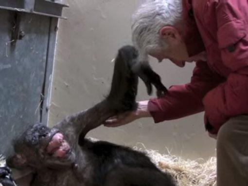 No leito de morte, chimpanzé reconhece biólogo e comove público