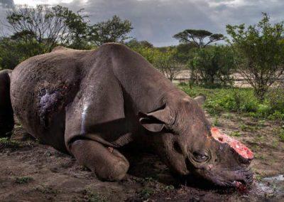 Junto a icônica foto de rinoceronte abatido, Brasil leva prêmio de fotografia