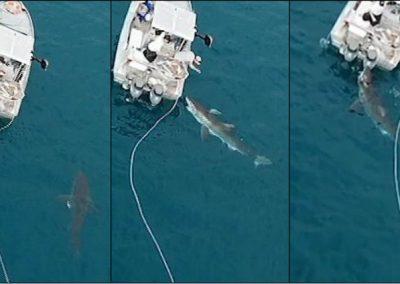 Tubarão de 4,5 metros ataca embarcação de turistas