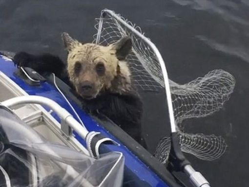 Filhotes de urso são salvos de afogamento em lago por pescadores