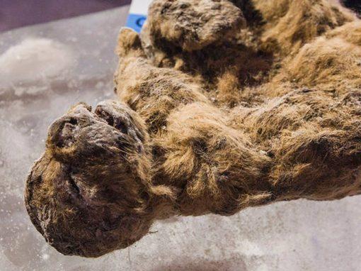 Leão extinto há 50 mil anos será clonado por cientistas