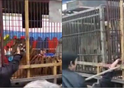 Idoso é mordido por tigre ao tentar alisá-lo em zoológico