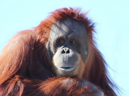 Nova espécie de orangotango é identificada, mas já está em extinção