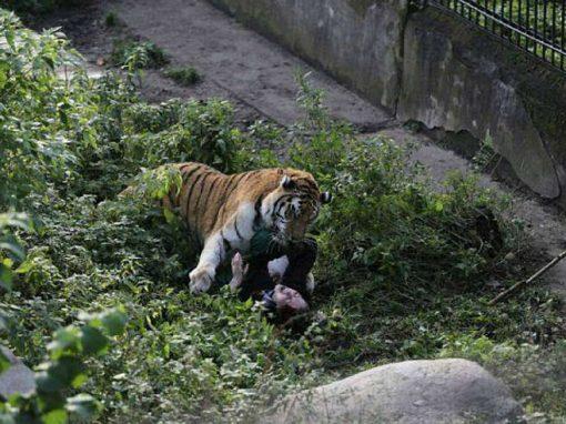 Tigre ataca cuidadora após gaiola ser deixada aberta por engano