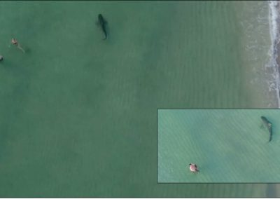 Tubarão-tigre nada ao lado de banhistas a poucos metros da praia