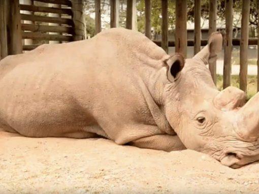 Registro de último rinoceronte branco macho do mundo comove internet