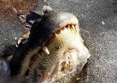 Devido ao frio, crocodilos congelam, mas sobrevivem mantendo nariz fora d'água