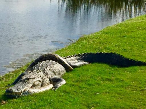 """""""Luta"""" entre crocodilo e cobra píton é registrada em campo de golfe"""