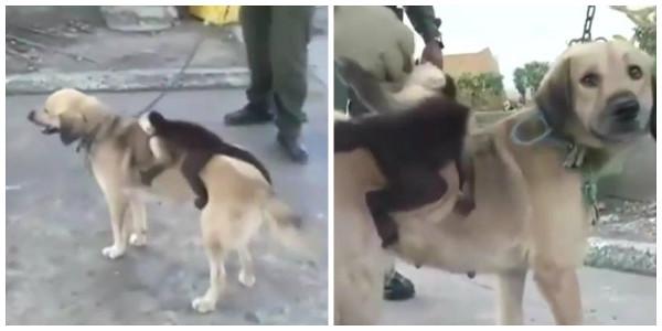 Cadela adota macaco após perder ninhada de filhotes