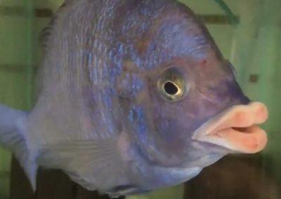 Peixe com 'lábios humanos' impressiona em aquário