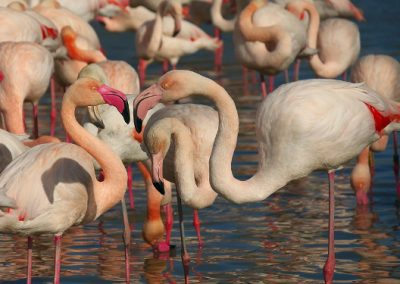 Resort nas Bahamas oferece emprego para curtir com flamingos