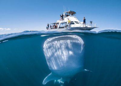 Homem captura foto de tubarão baleia próximo à embarcação