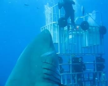Veja o maior tubarão branco já filmado