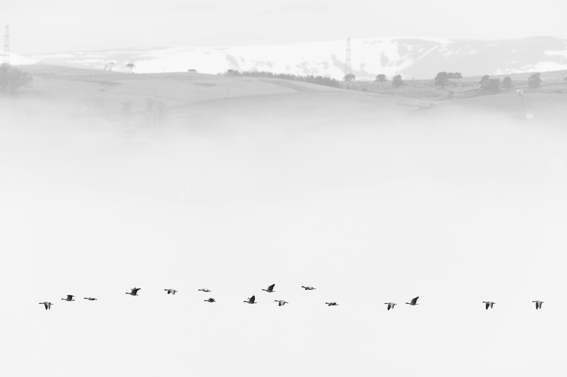 """""""Gansos dos pés cor-de-rosa na neve"""", por Terry Whittaker - vencedor na categoria Natureza britânica em preto e branco. Fotografia concebida em Highlands, na Escócia"""
