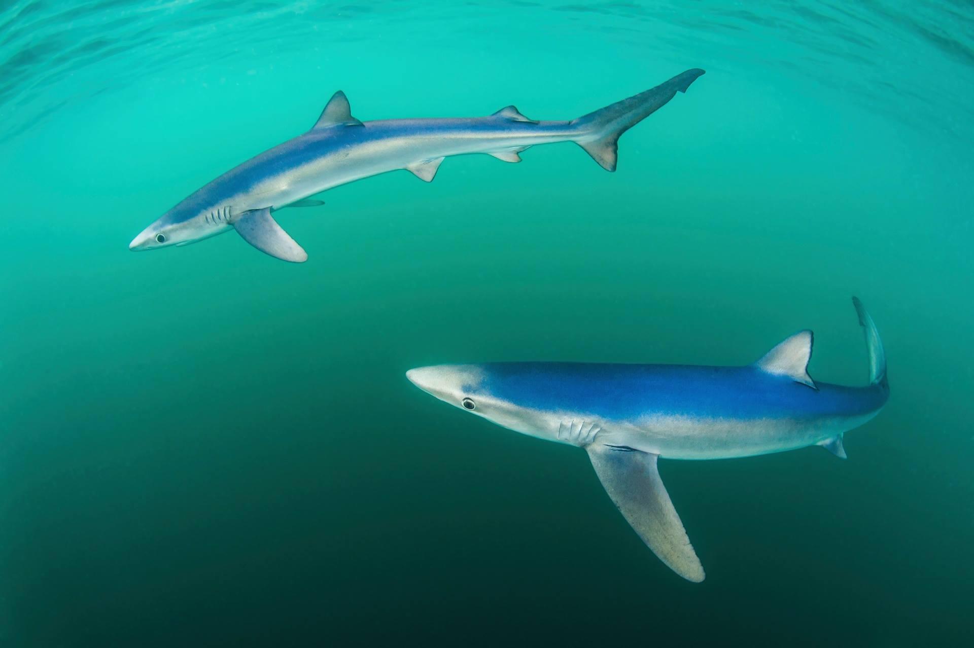 """""""Belos azuis"""", por Paul Colley - vencedor na categoria vida marinha e praieira. Fotografia feita em Cornwall, Inglaterra"""