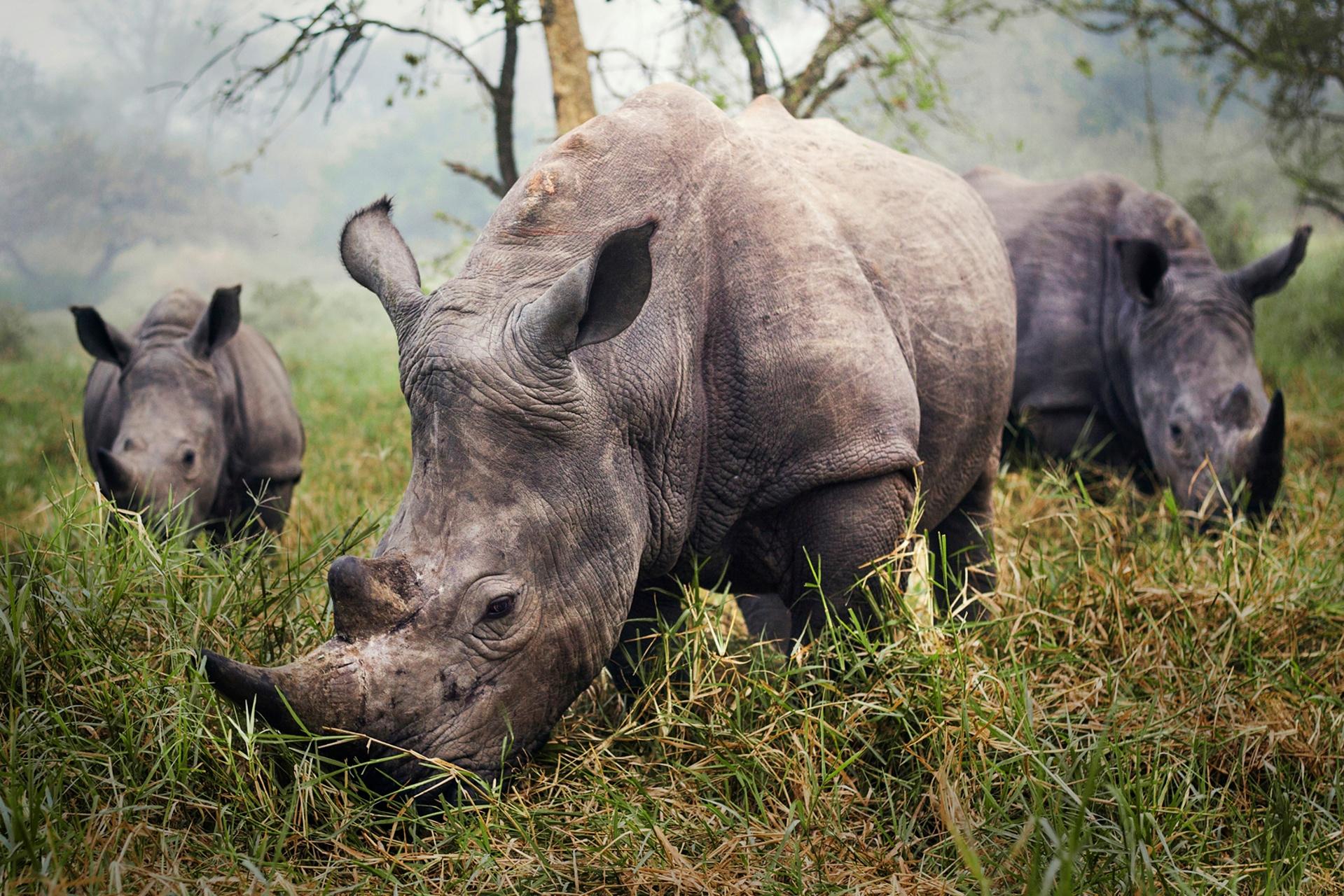 """Rinocerontes brancos no Santuário de Rinocerotes Ziwa, na Uganda"", por Stefane Berube"