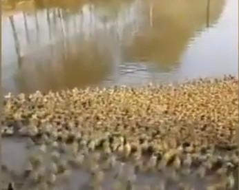 Cinco mil patinhos indo nadar pela primeira vez, em vídeo