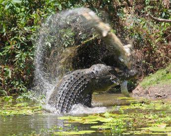 Crocodilo gigante canibal devora outro em imagens impressionantes