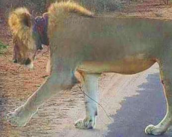 Leão ferido é salvo a partir de fotos de turistas no Facebook