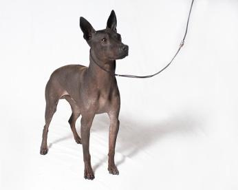 Duas novas raças de cachorro são reconhecidas