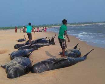 Mais de 100 baleias encalham e 45 morrem em praia da Índia