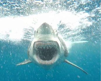 Tubarão é flagrado em posição de ataque por turista na Austrália