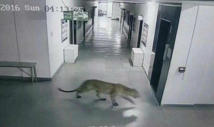 Leopardo invade escola infantil e deixa 4 homens feridos