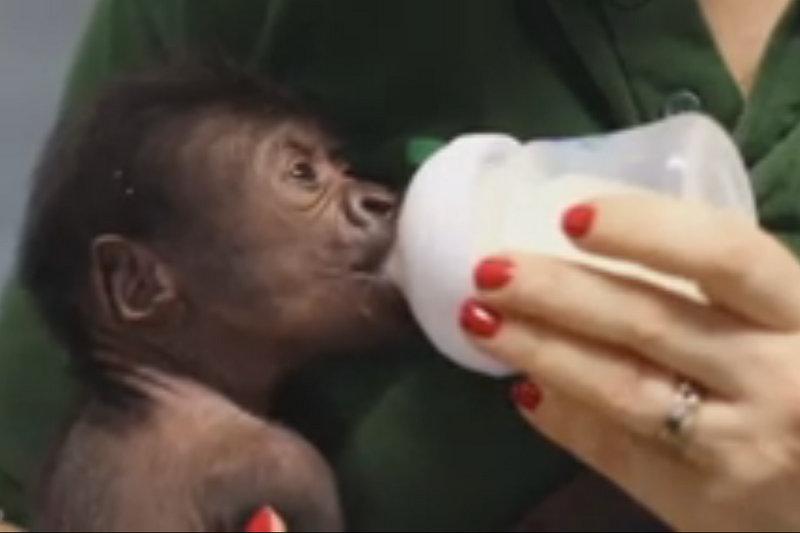 Gorila em extinção nasce por cesariana no Reino Unido