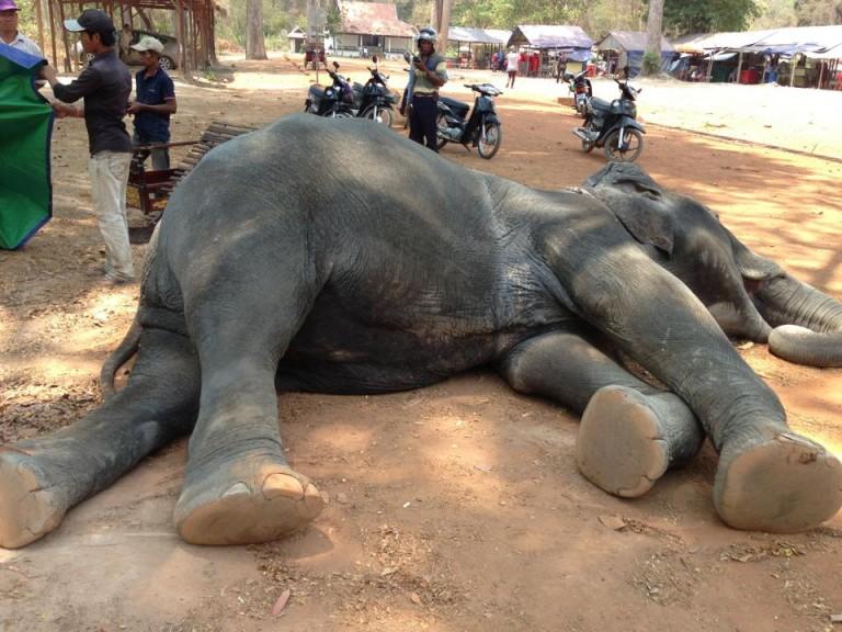 Elefanta morre de exaustão ao transportar turistas em calor de 45°