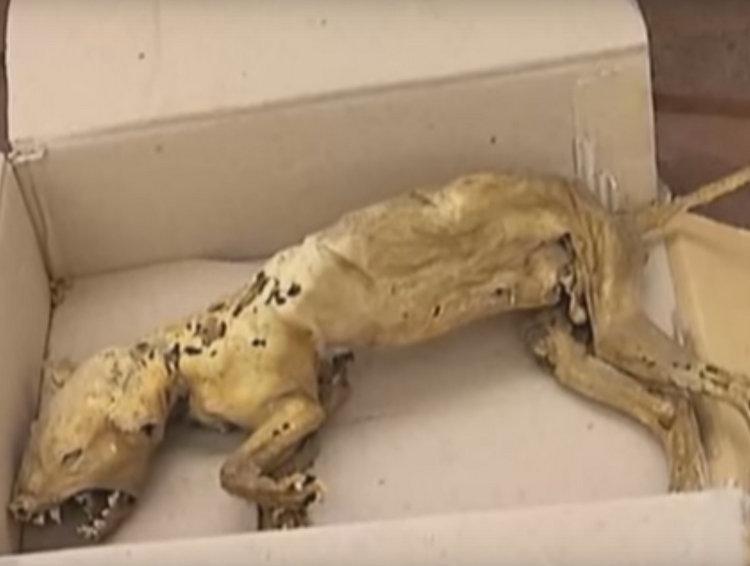Múmia de suposto chupacabra é encontrada na Ucrânia
