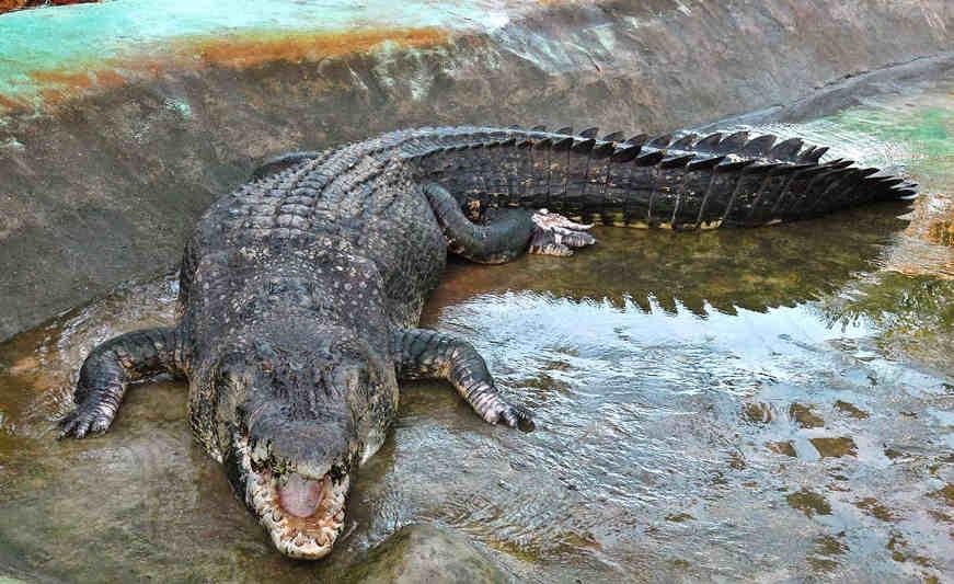 Homem salva amigo ao lutar com crocodilo em rio