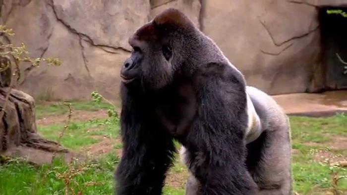 Pais de menino que caiu em jaula de gorila abatido devem responder processo
